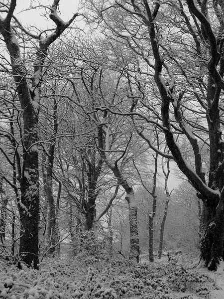 Bluebell Woods in the snow