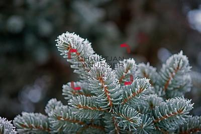 hoar frost - Raureif