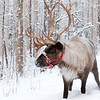 Credit: Running Reindeer Ranch<br /> <br /> Visitors can walk with reindeer through a snow covered boreal forest in Fairbanks, Alaska.
