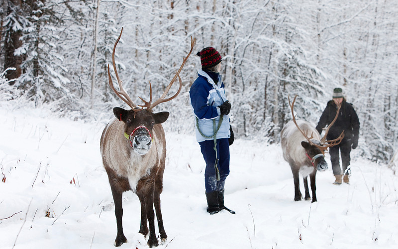 Credit: Running Reindeer Ranch<br /> <br /> Visitors walk with reindeer through a snow covered boreal forest.