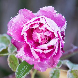 frozen-rose-2