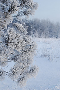 Hoar Frost on a Pine