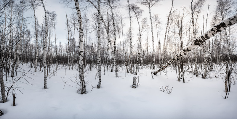 Winter Birch Pano Badness