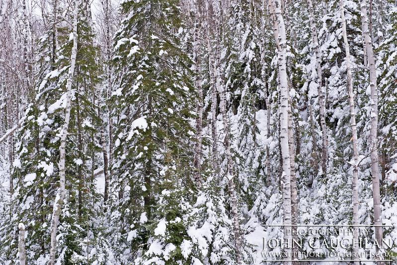 Pines(winter23b)