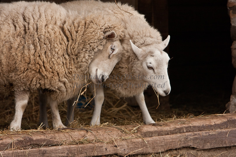 Sheep, Washington Crossing, Bucks County, PA