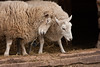 Sheep, Washington Crossing, Bucks County, PA