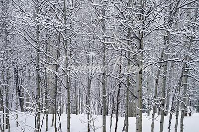 Aspen in Snow
