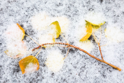 Aspen Leaves in Snow
