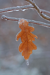 Icy Oak Leaf