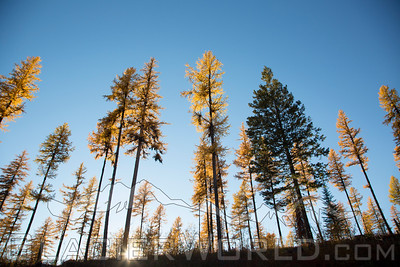 Montana Larch tree's stuning colors in the fall.