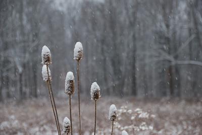 Snowy Teasels