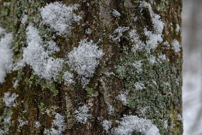 Snowy Lichens