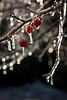 Icy Hawthorne Berries, Vertical