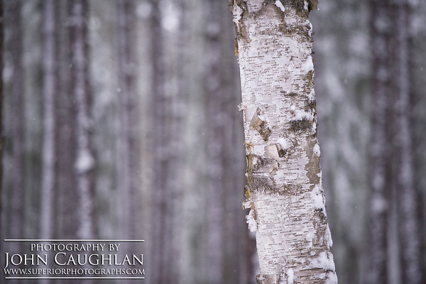 Birches(winter1c)