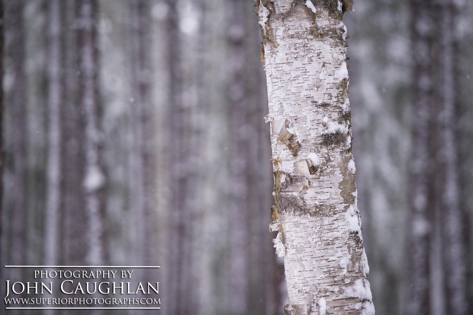 Birches(winter1c)