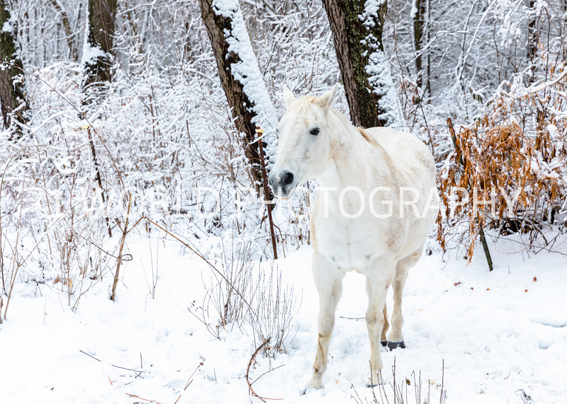 202101032021_1_3 Neighborhood_Horses_Snow_Barn_Trail039--6.jpg