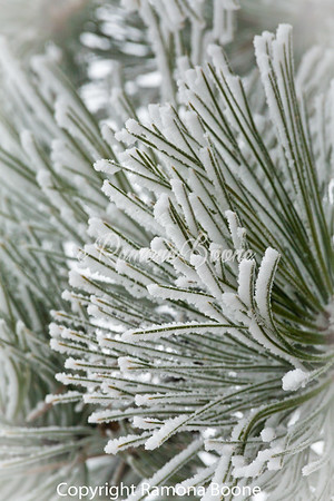 Winter Snow on Pine Needles