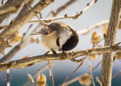 Chickadee Surviving the Cold