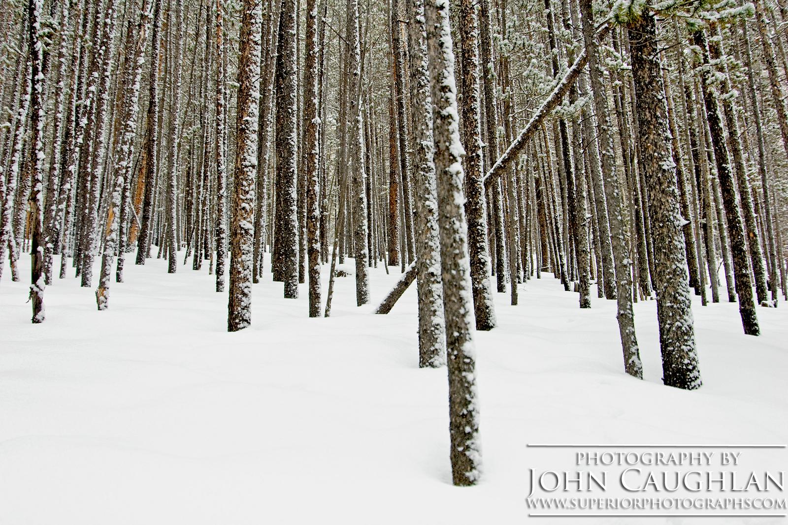 Pines(winter7)