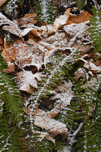 Ferns in the Snow