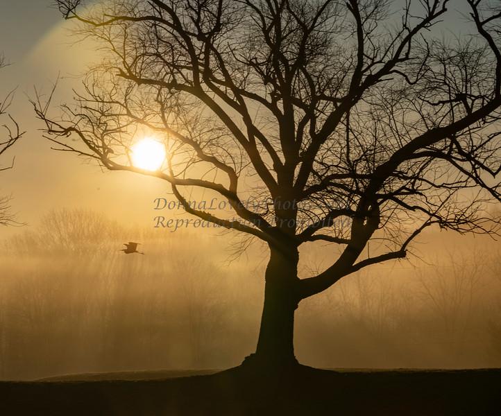 Great Blue heron in Foggy Sunrise,12-13-20_9611 ©DonnaLovelyPhotos com -9611