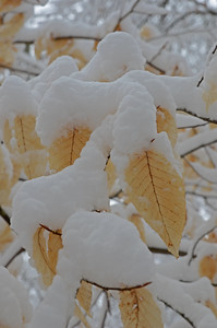 Snow-Laden Beech Leaves