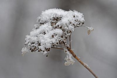 Snowy Wild Hydrangea
