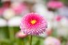 Pink Burst