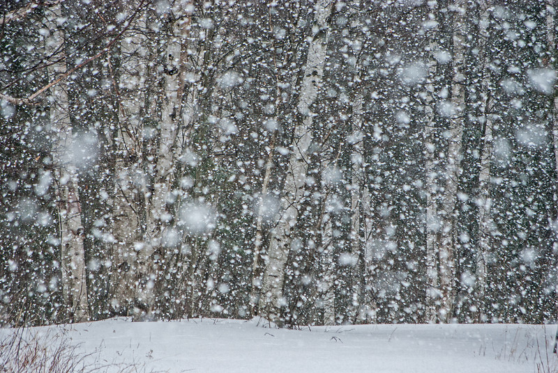 Snow on Birch