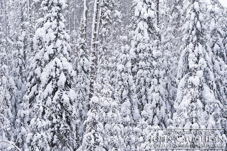 Pines(winter28d)