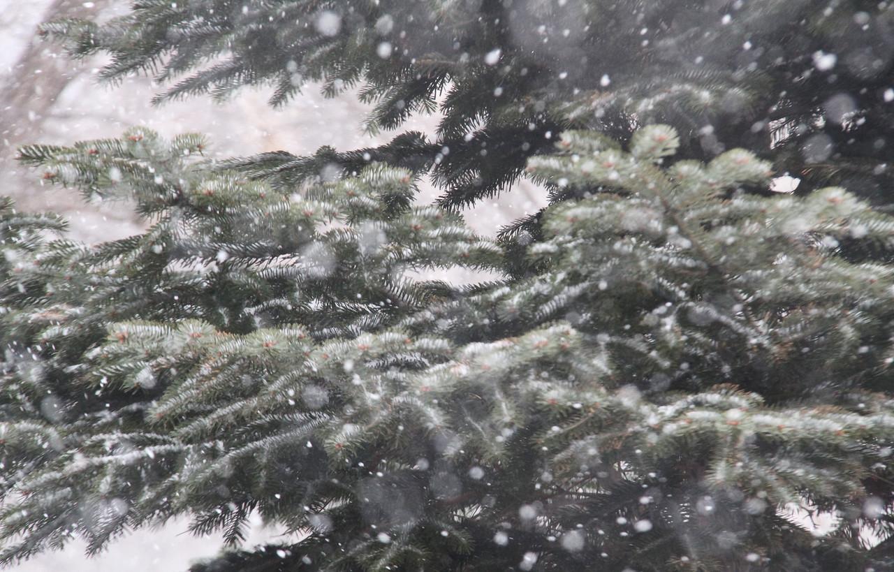 Campus_winter_snowfalling_pines_2015_2616