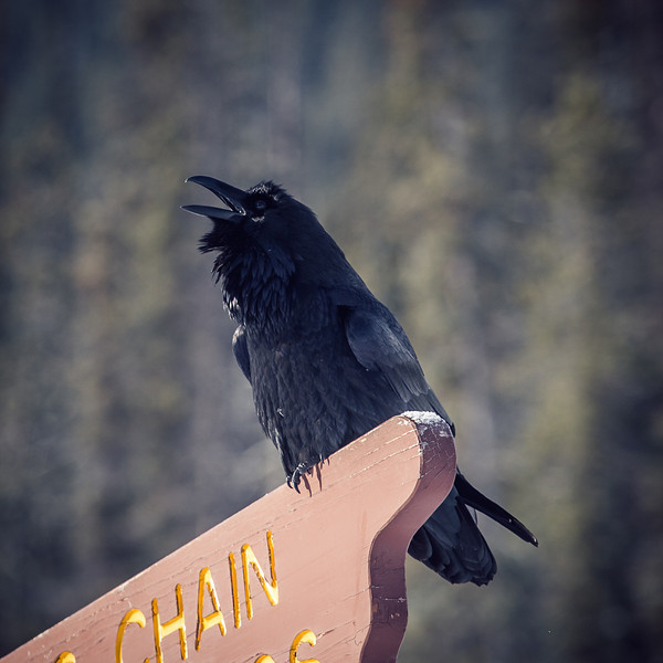 Raven Wisdom