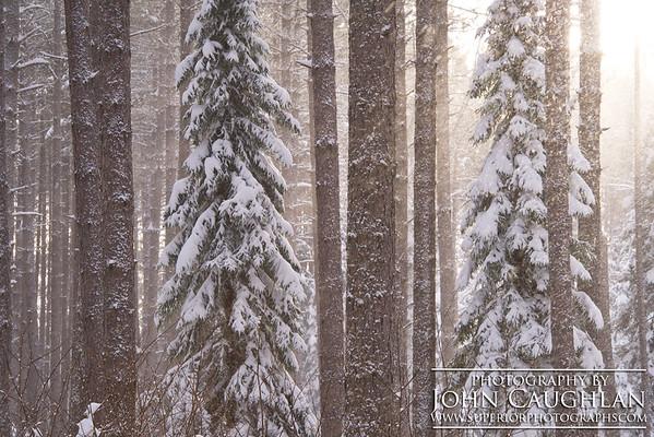 Pines(winter29k)