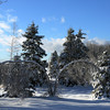 """""""Bowed by the ice storm"""", Lamoine, Maine."""