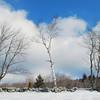 White birch, Lucerne, Maine.