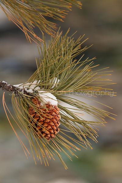 Pine Cone~ Sand Harbor