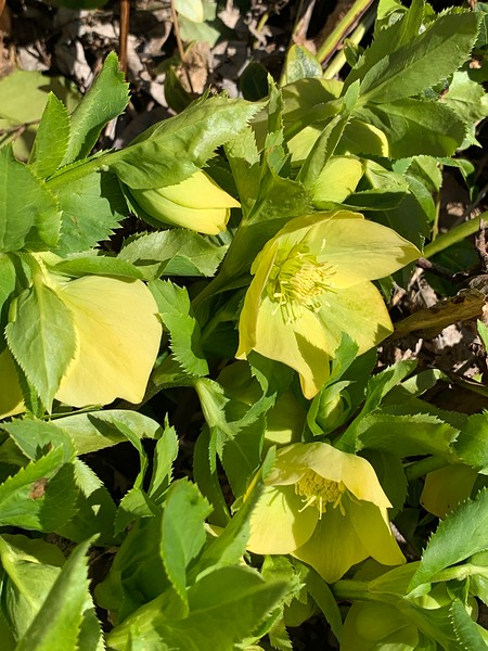 Yellow hellebore 3/16/19
