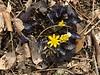 Ranunculus Brazen Hussy 3/16/19