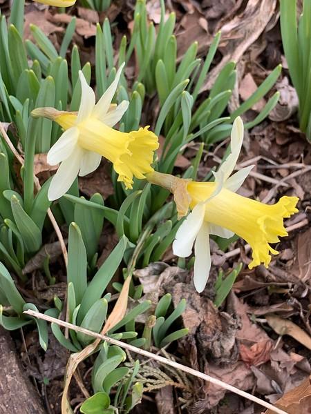 Daffodil topolino, courtyard 3/16/19