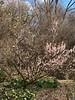 Prunus mume Fragrant Snow 3/16/19