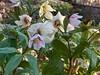 Helleborus thibetanus in Hesperides, 3/16/19
