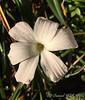 Zephyranthes blossum