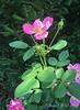 Elien's Rose