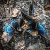 Red Spotted Purple butterflies on a fallen pear