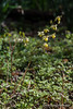 Epimedium sulphureum