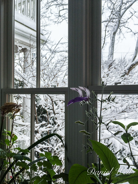 Brillantaisia and snowy view beyond