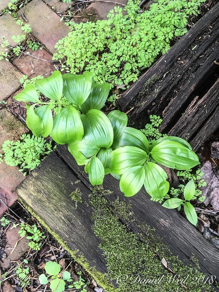 Dwarf Solomon's seal, escaping the bed