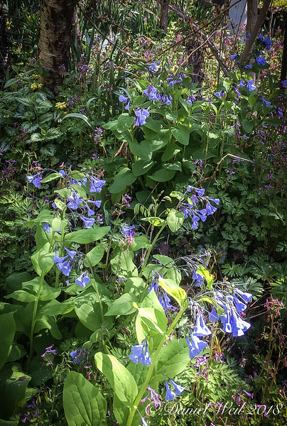 Bluebells do spread.....