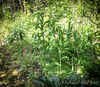 Another type of giant Solomon's seal emerging