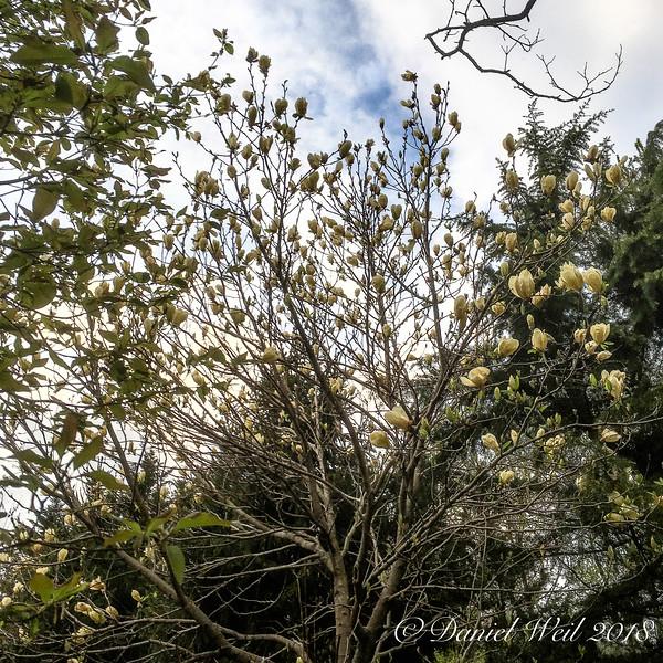 Golden magnolia